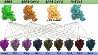 ACE2 variants of different virus strains