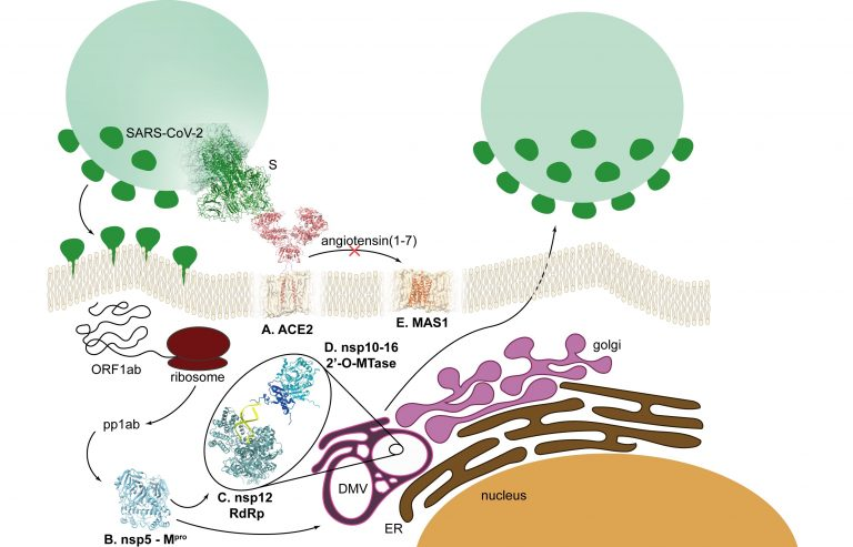 Representation of the SARS-CoV-2 lifespan